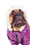 Bullmastiff puppy dressed Stock Photography