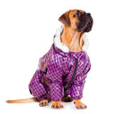 Bullmastiff puppy dressed Royalty Free Stock Photos