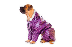 Bullmastiff puppy dressed Royalty Free Stock Image