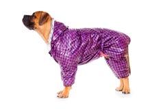 Bullmastiff puppy dressed Stock Photos