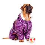 Bullmastiff puppy dressed Stock Image