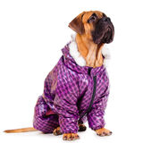 Bullmastiff puppy dressed Stock Photos
