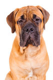 Bullmastiff puppy face Stock Images