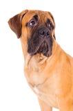 Bullmastiff puppy face Stock Photos