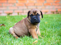 Bullmastiff puppy on a lawn. Bullmastiff puppy sitting on a green grass royalty free stock photo