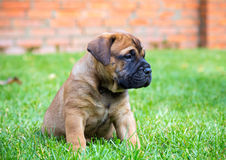 Bullmastiff puppy on a lawn. Bullmastiff puppy sitting on a green grass stock photo