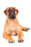 Bullmastiff puppy lying Royalty Free Stock Photography