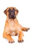 Bullmastiff puppy lying Royalty Free Stock Photography