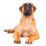 Bullmastiff puppy lying Royalty Free Stock Image