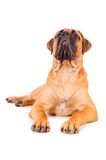 Bullmastiff puppy lying Stock Photos