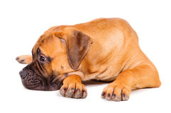 Bullmastiff puppy lying Royalty Free Stock Photos