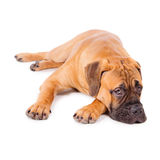 Bullmastiff puppy lying Royalty Free Stock Photo