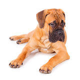 Bullmastiff puppy lying Stock Image