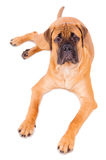 Bullmastiff puppy lying Stock Photo