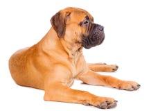 Bullmastiff puppy lying Stock Photography