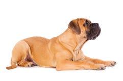 Bullmastiff puppy lying Royalty Free Stock Images