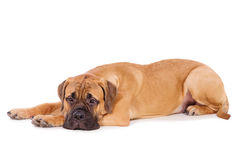 Bullmastiff puppy lying Royalty Free Stock Images