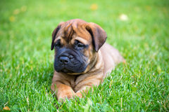 Bullmastiff puppy lying on a lawn Royalty Free Stock Photos