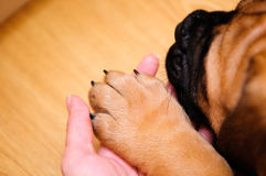 Bullmastiff puppy paw Royalty Free Stock Images