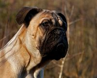 Bullmastiff puppy portrait 4 months royalty free stock photos