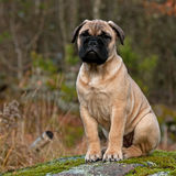 Bullmastiff puppy portrait. BullMastiff 10 weeks old puppy portrait royalty free stock images
