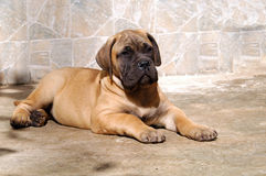 Bullmastiff puppy. Sit quietly and wait for food royalty free stock photo