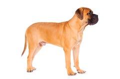 Bullmastiff puppy stands Stock Image