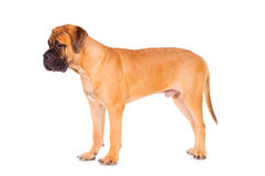 Bullmastiff puppy stands. On a white background. dog portrait isolated. age 6 months stock image