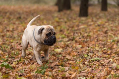Bullmastiff is running in the park. Bullmastiff is running in the park royalty free stock photos