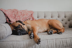 Bullmastiff sleeping on couch. Large Bullmastiff dog sleeping on a vintage couch stock photography