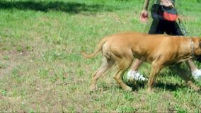 Bullmastiff trener i pies zbiory