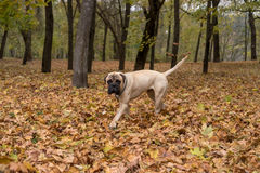 Bullmastiff is walking in the park Royalty Free Stock Images