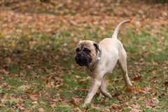 Bullmastiff is walking in the park Stock Image