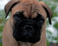 Bullmastiff puppy portrait 8 weeks. BullMastiff 8 weeks old puppy portrait....close-up on the face stock photo