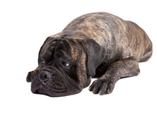 Bullmastiff on a white background Stock Photo