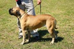 Bullmastiff z właścicielem Obrazy Royalty Free