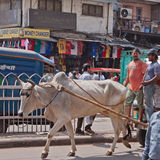 Bullock and Cart Stock Image