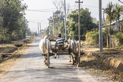 Bullock cart. A farmer is driving his bullock cart along a country road near Loikaw, Myanmar Stock Images