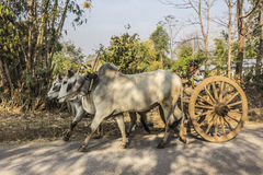 Bullock cart. A farmer is driving his bullock cart along a country road near Loikaw, Myanmar Royalty Free Stock Photo