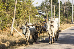 Bullock cart. A farmer is driving his bullock cart along a country road near Loikaw, Myanmar Royalty Free Stock Photography