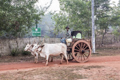 Bullock cart. A farmer is sitting on top of a  bullock cart, making a transport on a dirt road in the countryside around Mawlamyine, Myanmar Royalty Free Stock Photos