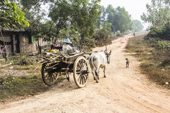 Bullock cart. A farmer is sitting on top of a  bullock cart, making a transport on a dirt road in the countryside around Mawlamyine, Myanmar Stock Image