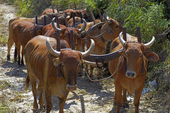 Bullock cart or ox cart, one of the most primitive means of tran Royalty Free Stock Photos