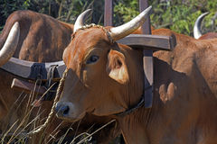 Bullock cart or ox cart, one of the most primitive means of tran Stock Photography