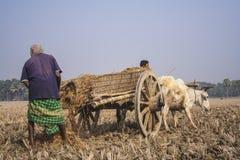 Bullock cart race. In rural area in Jessore during winter season. Bangladesh stock image