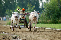 Bullock cart racing. Is very famous in India in state Punjab people all over from Punjab comes their bulls to participate in this event,it is very famous event Stock Photos