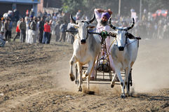 Bullock cart racing Stock Image