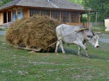 Bullock ciągnie sanie z sianem Zdjęcie Stock