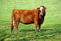 Bullock in a field Stock Image