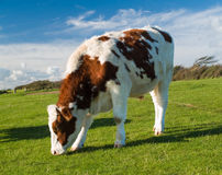 Bullock grazing Stock Photos